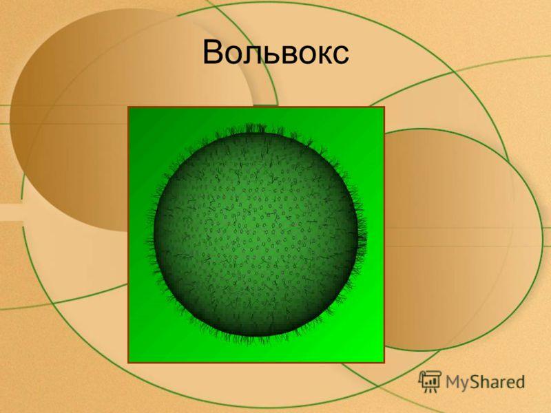 Гипотеза симбиоза Доказательство гипотезы: Одноклеточные водоросли вступают в союз с животными- эукариотами В теле инфузории туфельки обитает водоросль хлорелла Митохондрии и пластиды похожи на бактерии.