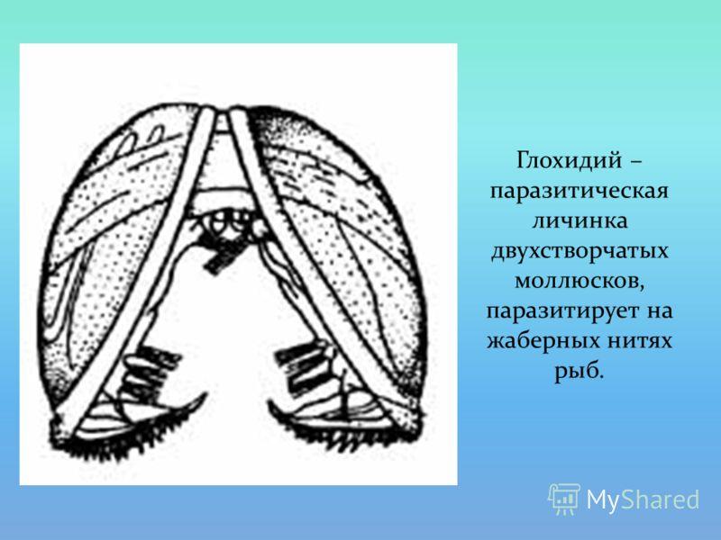 Глохидий – паразитическая личинка двухстворчатых моллюсков, паразитирует на жаберных нитях рыб.