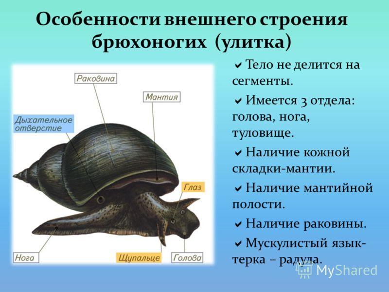 Особенности внешнего строения брюхоногих (улитка) Тело не делится на сегменты. Имеется 3 отдела: голова, нога, туловище. Наличие кожной складки-мантии. Наличие мантийной полости. Наличие раковины. Мускулистый язык- терка – радула.