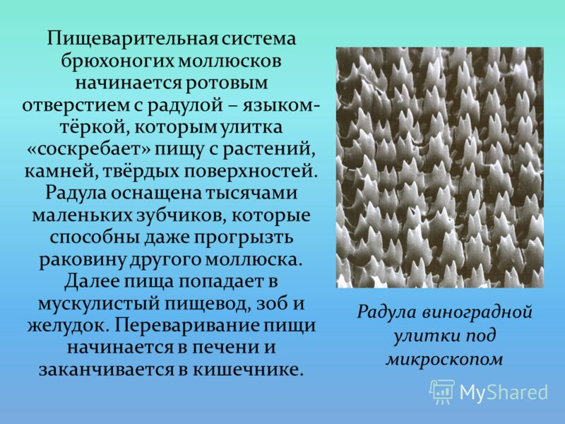 Пищеварительная система брюхоногих моллюсков начинается ротовым отверстием с радулой – языком- тёркой, которым улитка «соскребает» пищу с растений, камней, твёрдых поверхностей. Радула оснащена тысячами маленьких зубчиков, которые способны даже прогр