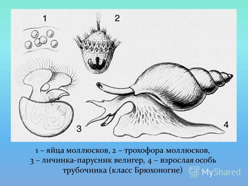 1 – яйца моллюсков, 2 – трохофора моллюсков, 3 – личинка-парусник велигер, 4 – взрослая особь трубочника (класс Брюхоногие)