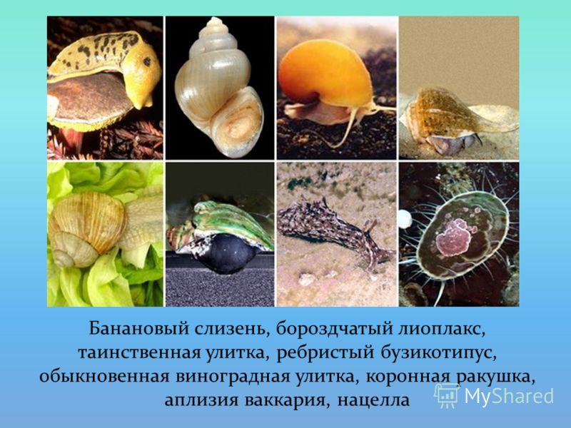 Банановый слизень, бороздчатый лиоплакс, таинственная улитка, ребристый бузикотипус, обыкновенная виноградная улитка, коронная ракушка, аплизия ваккария, нацелла