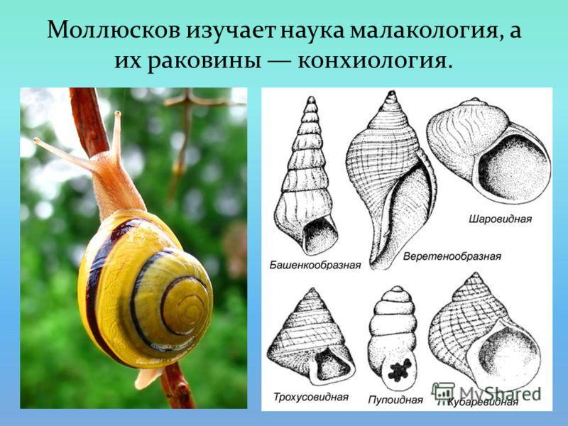 Моллюсков изучает наука малакология, а их раковины конхиология.