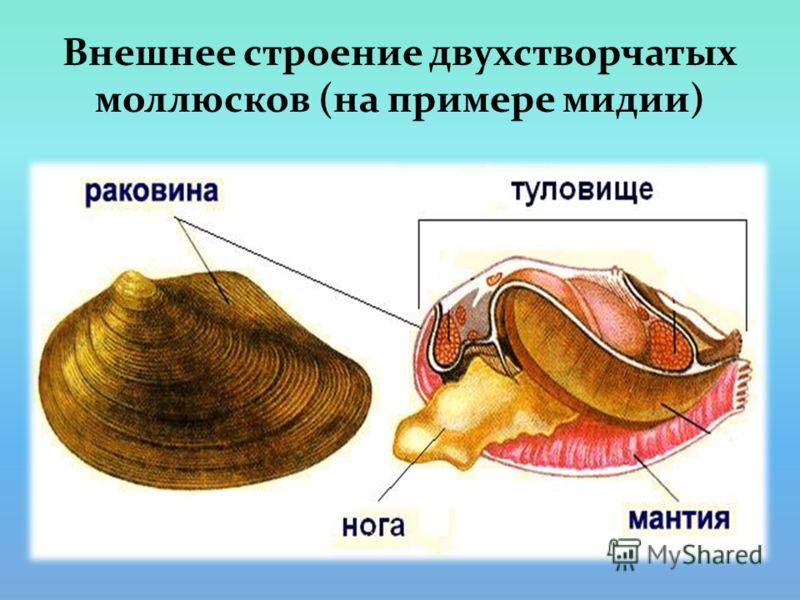 Внешнее строение двухстворчатых моллюсков (на примере мидии)
