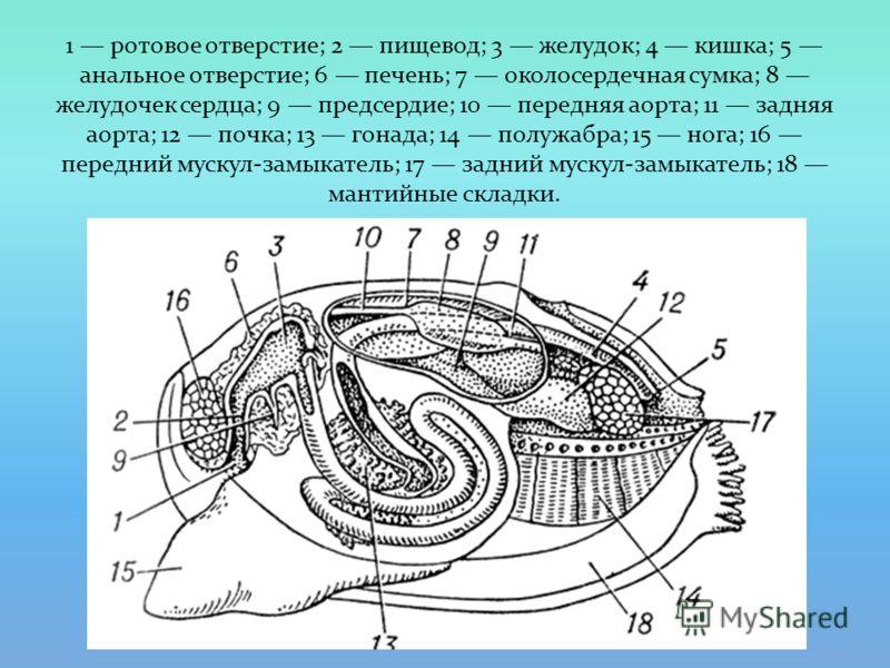 1 ротовое отверстие; 2 пищевод; 3 желудок; 4 кишка; 5 анальное отверстие; 6 печень; 7 околосердечная сумка; 8 желудочек сердца; 9 предсердие; 10 передняя аорта; 11 задняя аорта; 12 почка; 13 гонада; 14 полужабра; 15 нога; 16 передний мускул-замыкател
