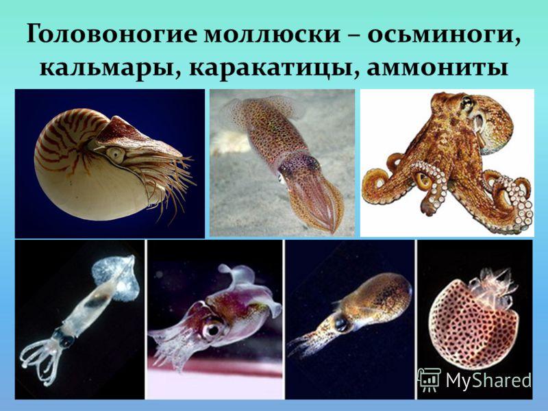 Головоногие моллюски – осьминоги, кальмары, каракатицы, аммониты