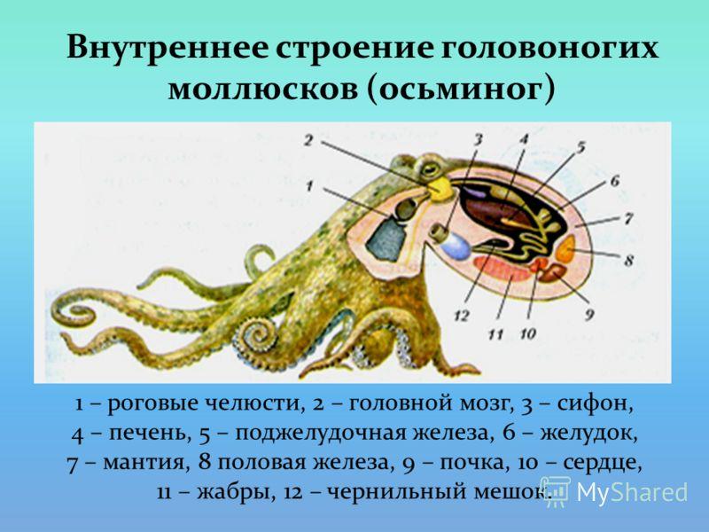 Внутреннее строение головоногих моллюсков (осьминог) 1 – роговые челюсти, 2 – головной мозг, 3 – сифон, 4 – печень, 5 – поджелудочная железа, 6 – желудок, 7 – мантия, 8 половая железа, 9 – почка, 10 – сердце, 11 – жабры, 12 – чернильный мешок.