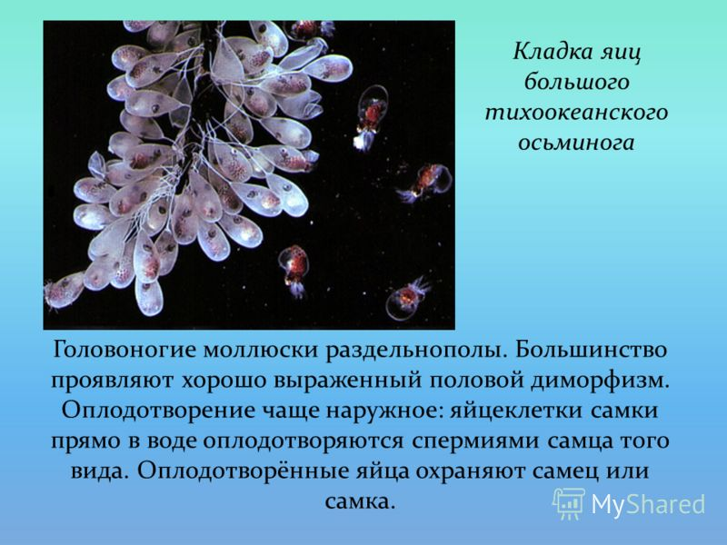 Головоногие моллюски раздельнополы. Большинство проявляют хорошо выраженный половой диморфизм. Оплодотворение чаще наружное: яйцеклетки самки прямо в воде оплодотворяются спермиями самца того вида. Оплодотворённые яйца охраняют самец или самка. Кладк