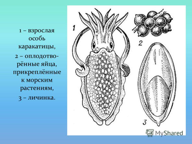 1 – взрослая особь каракатицы, 2 – оплодотво- рённые яйца, прикреплённые к морским растениям, 3 – личинка.