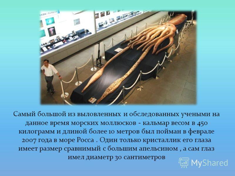 Самый большой из выловленных и обследованных учеными на данное время морских моллюсков - кальмар весом в 450 килограмм и длиной более 10 метров был пойман в феврале 2007 года в море Росса. Один только кристаллик его глаза имеет размер сравнимый с бол