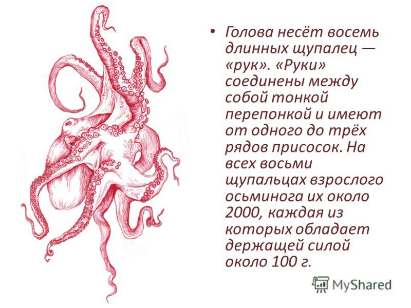 Голова несёт восемь длинных щупалец «рук». «Руки» соединены между собой тонкой перепонкой и имеют от одного до трёх рядов присосок. На всех восьми щупальцах взрослого осьминога их около 2000, каждая из которых обладает держащей силой около 100 г.