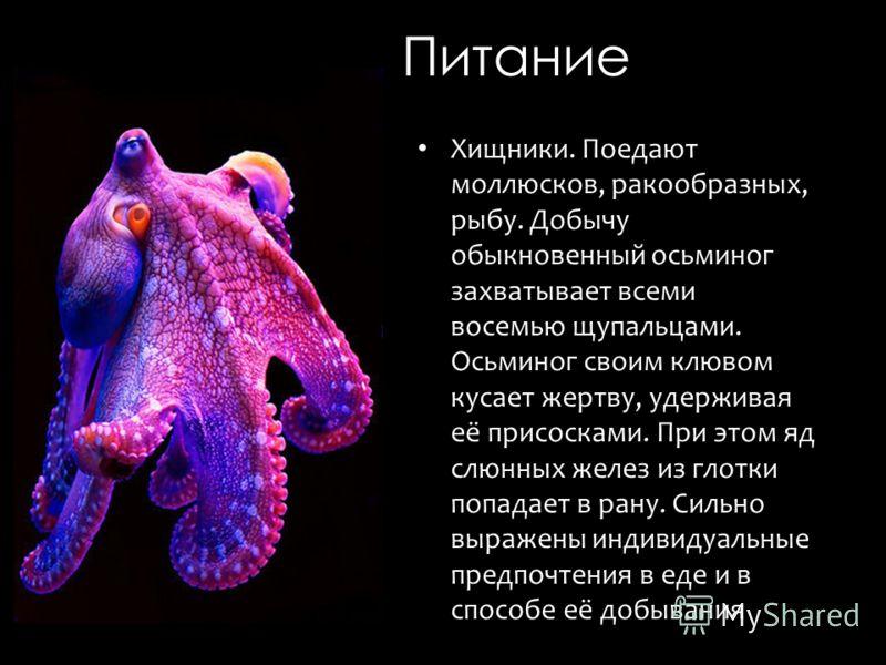 Питание Хищники. Поедают моллюсков, ракообразных, рыбу. Добычу обыкновенный осьминог захватывает всеми восемью щупальцами. Осьминог своим клювом кусает жертву, удерживая её присосками. При этом яд слюнных желез из глотки попадает в рану. Сильно выраж