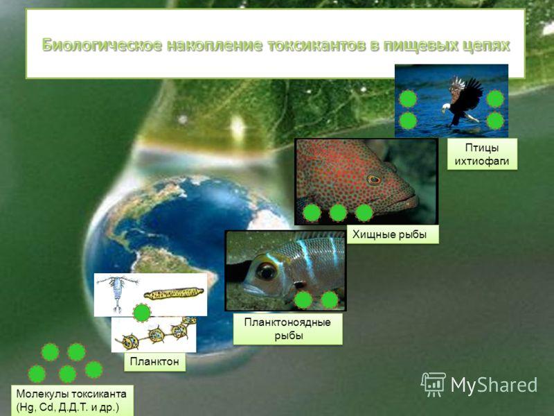 Планктоноядные рыбы Планктоноядные рыбы Хищные рыбы Птицы ихтиофаги Молекулы токсиканта (Hg, Cd, Д.Д.Т. и др.) Планктон