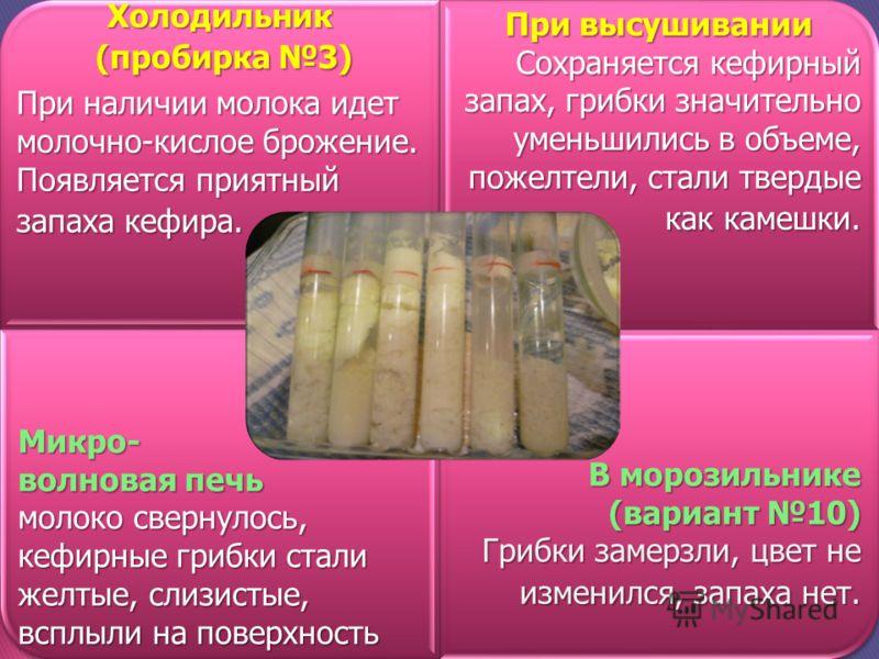 Холодильник (пробирка 3) (пробирка 3) При наличии молока идет молочно-кислое брожение. Появляется приятный запаха кефира. При высушивании Сохраняется кефирный запах, грибки значительно уменьшились в объеме, пожелтели, стали твердые как камешки. Микро