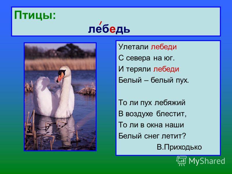 Птицы: лебедь Улетали лебеди С севера на юг. И теряли лебеди Белый – белый пух. То ли пух лебяжий В воздухе блестит, То ли в окна наши Белый снег летит? В.Приходько