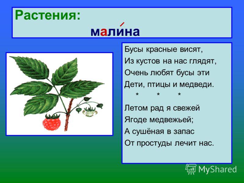 Растения: малина Бусы красные висят, Из кустов на нас глядят, Очень любят бусы эти Дети, птицы и медведи. * * * Летом рад я свежей Ягоде медвежьей; А сушёная в запас От простуды лечит нас.