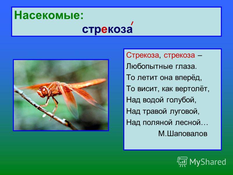 Насекомые: стрекоза Стрекоза, стрекоза – Любопытные глаза. То летит она вперёд, То висит, как вертолёт, Над водой голубой, Над травой луговой, Над поляной лесной… М.Шаповалов