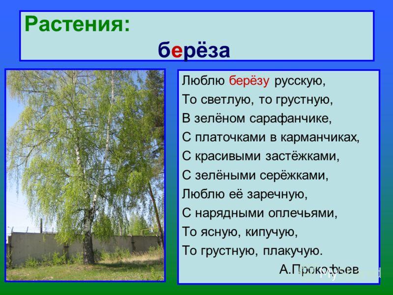 Растения: берёза Люблю берёзу русскую, То светлую, то грустную, В зелёном сарафанчике, С платочками в карманчиках, С красивыми застёжками, С зелёными серёжками, Люблю её заречную, С нарядными оплечьями, То ясную, кипучую, То грустную, плакучую. А.Про