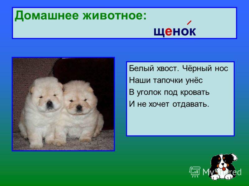 Домашнее животное: щенок Белый хвост. Чёрный нос Наши тапочки унёс В уголок под кровать И не хочет отдавать.
