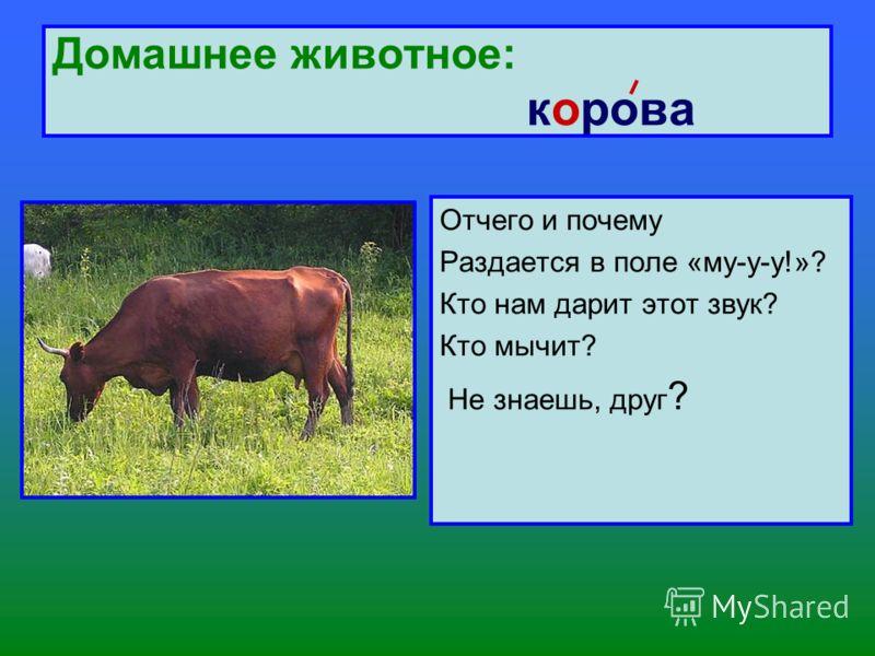 Домашнее животное: корова Отчего и почему Раздается в поле «му-у-у!»? Кто нам дарит этот звук? Кто мычит? Не знаешь, друг ?