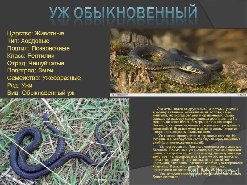 Ужи отличаются от других змей «жёлтыми ушами» ярко-выраженными отметинами на голове, чаще жёлтыми, но иногда белыми и оранжевыми. Самки больше по размеру самцов, иногда достигают до 1,5 метров, но чаще всего размеры не больше метра. Питается в основн