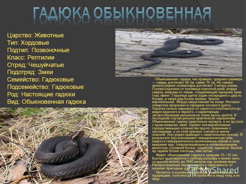 Обыкновенная гадюка, как правило, среднего размера самцы достигают 60 см, самки 70 см. На севере ареала редкие экземпляры достигают 1 метра длины. Голова отделена от туловища короткой шеей, морда сверху, впереди от линии, соединяющей передние края гл