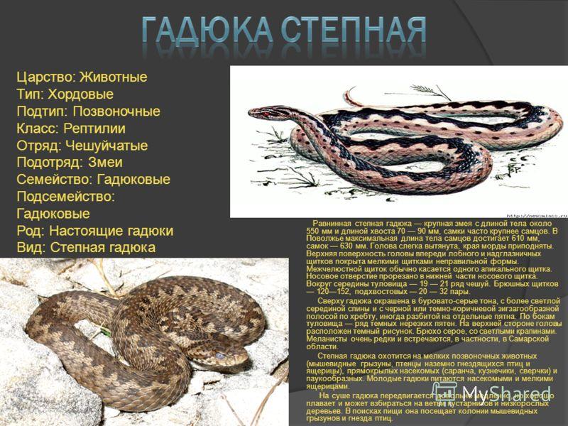 Равнинная степная гадюка крупная змея с длиной тела около 550 мм и длиной хвоста 70 90 мм, самки часто крупнее самцов. В Поволжье максимальная длина тела самцов достигает 610 мм, самок 630 мм. Голова слегка вытянута, края морды приподняты. Верхняя по