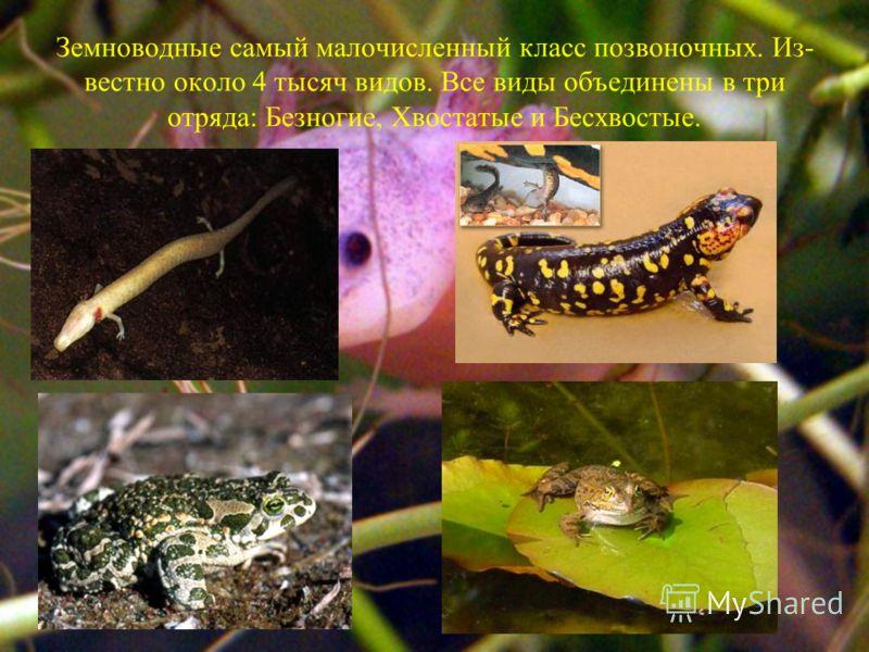 Земноводные самый малочисленный класс позвоночных. Из вестно около 4 тысяч видов. Все виды объединены в три отряда: Безногие, Хвостатые и Бесхвостые.