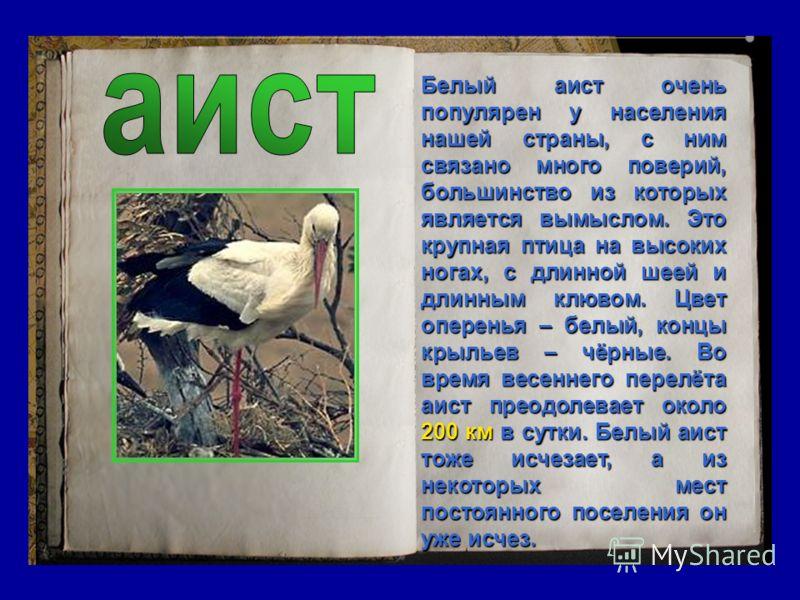 Белый аист очень популярен у населения нашей страны, с ним связано много поверий, большинство из которых является вымыслом. Это крупная птица на высоких ногах, с длинной шеей и длинным клювом. Цвет оперенья – белый, концы крыльев – чёрные. Во время в