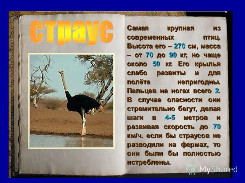 Самая крупная из современных птиц. Высота его – 270 см, масса – от 70 70 до 90 90 кг, но чаще около 50 50 кг. Его крылья слабо развиты и для полёта непригодны. Пальцев на ногах всего 2.2.2.2. В случае опасности они стремительно бегут, делая шаги в 4-