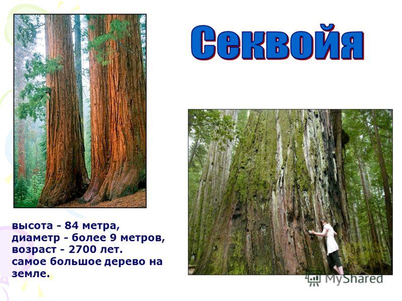высота - 84 метра, диаметр - более 9 метров, возраст - 2700 лет. самое большое дерево на земле.