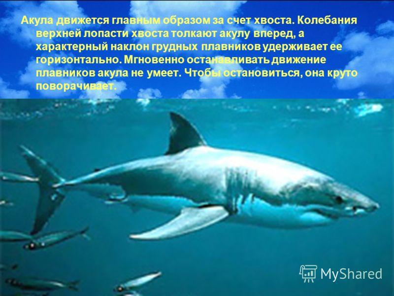 Акула движется главным образом за счет хвоста. Колебания верхней лопасти хвоста толкают акулу вперед, а характерный наклон грудных плавников удерживает ее горизонтально. Мгновенно останавливать движение плавников акула не умеет. Чтобы остановиться, о