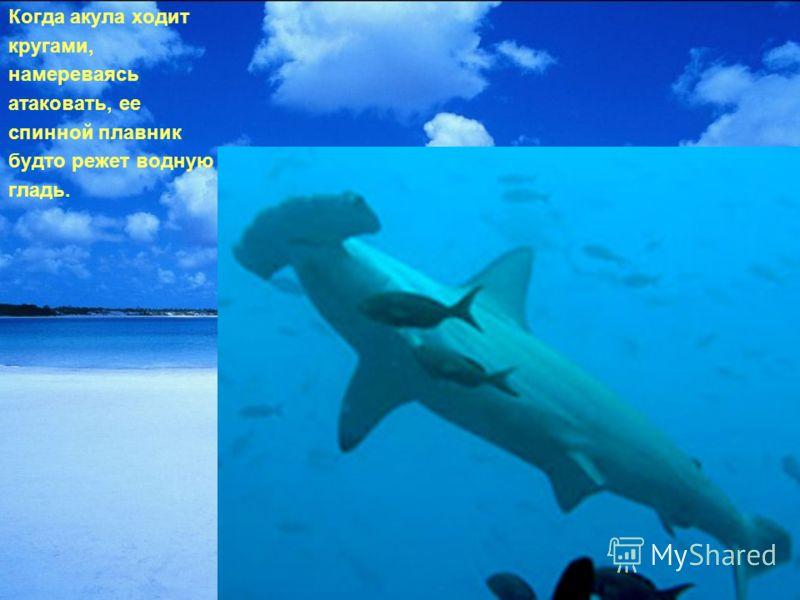 Когда акула ходит кругами, намереваясь атаковать, ее спинной плавник будто режет водную гладь.