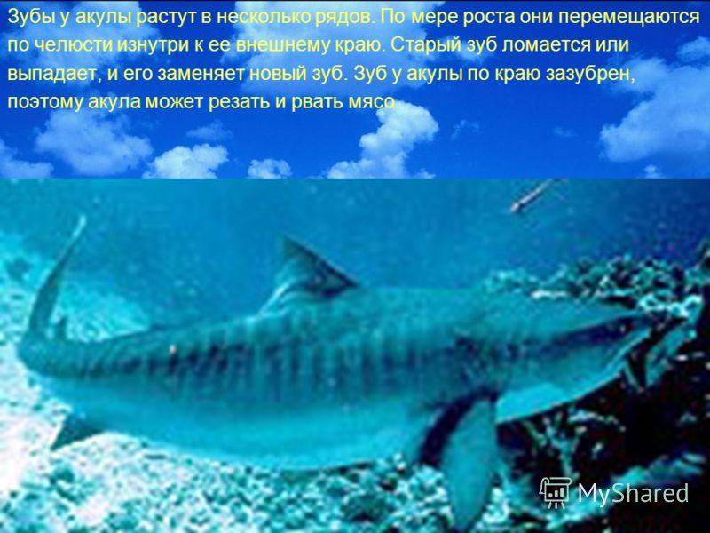 Зубы у акулы растут в несколько рядов. По мере роста они перемещаются по челюсти изнутри к ее внешнему краю. Старый зуб ломается или выпадает, и его заменяет новый зуб. Зуб у акулы по краю зазубрен, поэтому акула может резать и рвать мясо.