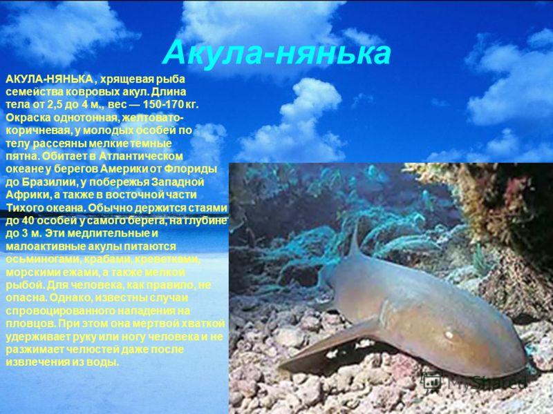 Акула-нянька АКУЛА-НЯНЬКА, хрящевая рыба семейства ковровых акул. Длина тела от 2,5 до 4 м., вес 150-170 кг. Окраска однотонная, желтовато- коричневая, у молодых особей по телу рассеяны мелкие темные пятна. Обитает в Атлантическом океане у берегов Ам