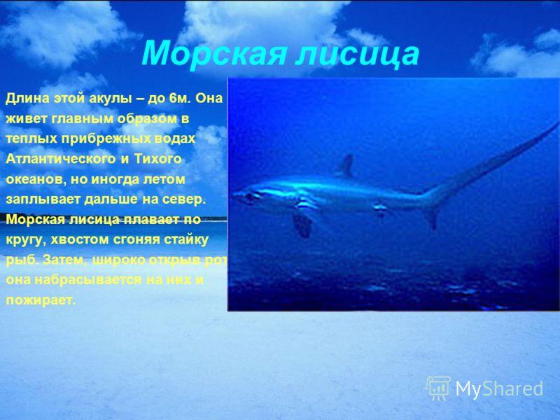 Морская лисица Длина этой акулы – до 6м. Она живет главным образом в теплых прибрежных водах Атлантического и Тихого океанов, но иногда летом заплывает дальше на север. Морская лисица плавает по кругу, хвостом сгоняя стайку рыб. Затем, широко открыв