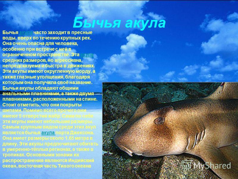 Бычья акула Бычья акула часто заходит в пресныеакула воды, вверх по течению крупных рек. Она очень опасна для человека, особенно при встрече с ней в ограниченном пространстве. Эта акулаакула средних размеров, но агрессивна, непредсказуема и быстра в