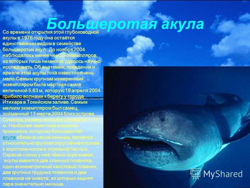 Большеротая акула Со времени открытия этой глубоководной акулы в 1976 году она остаётся единственным видом в семействе большеротых акул. До ноября 2004 наблюдалось менее чем 25 экземпляров, из которых лишь немногих удалось научно исследовать. Об анат