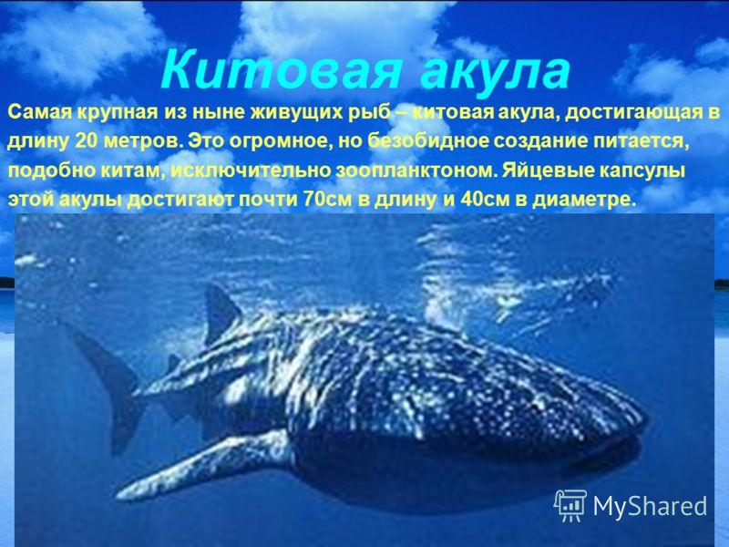 Китовая акула Самая крупная из ныне живущих рыб – китовая акула, достигающая в длину 20 метров. Это огромное, но безобидное создание питается, подобно китам, исключительно зоопланктоном. Яйцевые капсулы этой акулы достигают почти 70см в длину и 40см