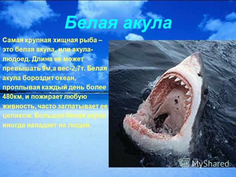 Белая акула Самая крупная хищная рыба – это белая акула, или акула- людоед. Длина ее может превышать 9м,а вес-2,7т. Белая акула бороздит океан, проплывая каждый день более 480км, и пожирает любую живность, часто заглатывает ее целиком. Большая белая