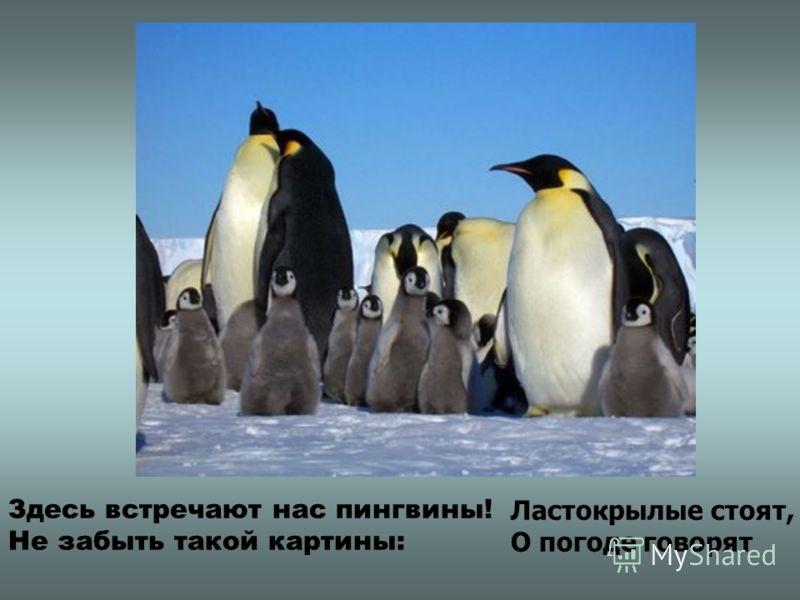 Здесь встречают нас пингвины! Не забыть такой картины: Ластокрылые стоят, О погоде говорят