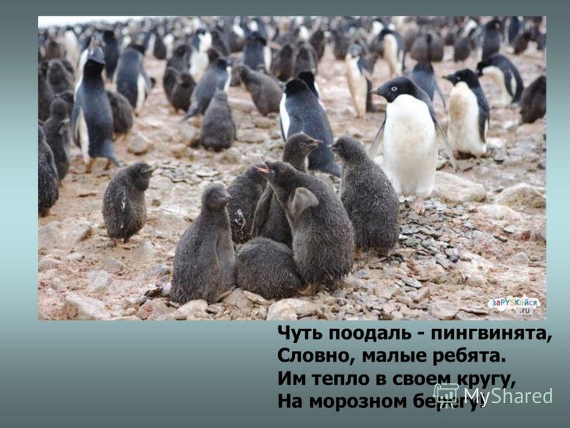Чуть поодаль - пингвинята, Словно, малые ребята. Им тепло в своем кругу, На морозном берегу!