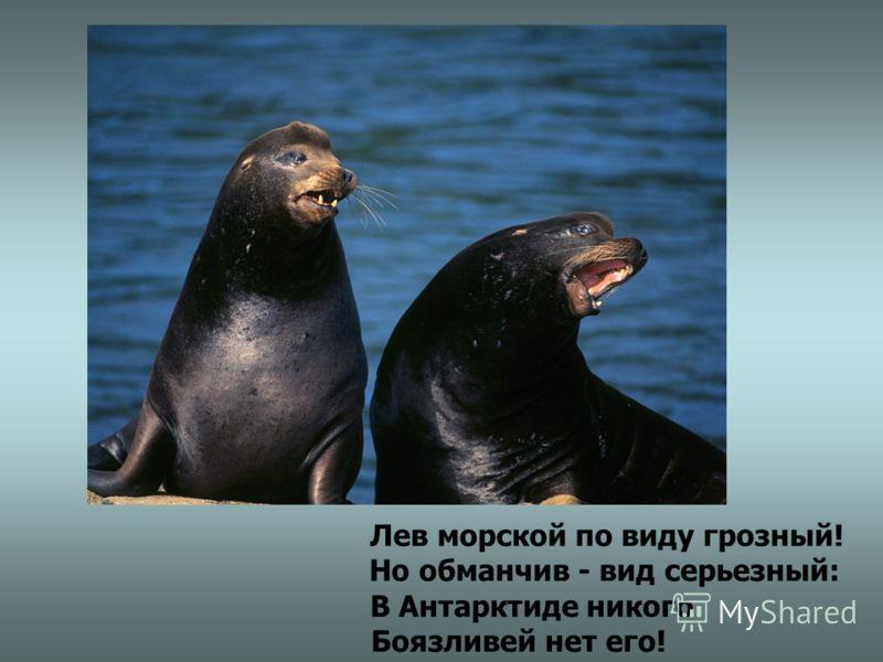 Лев морской по виду грозный! Но обманчив - вид серьезный: В Антарктиде никого Боязливей нет его!