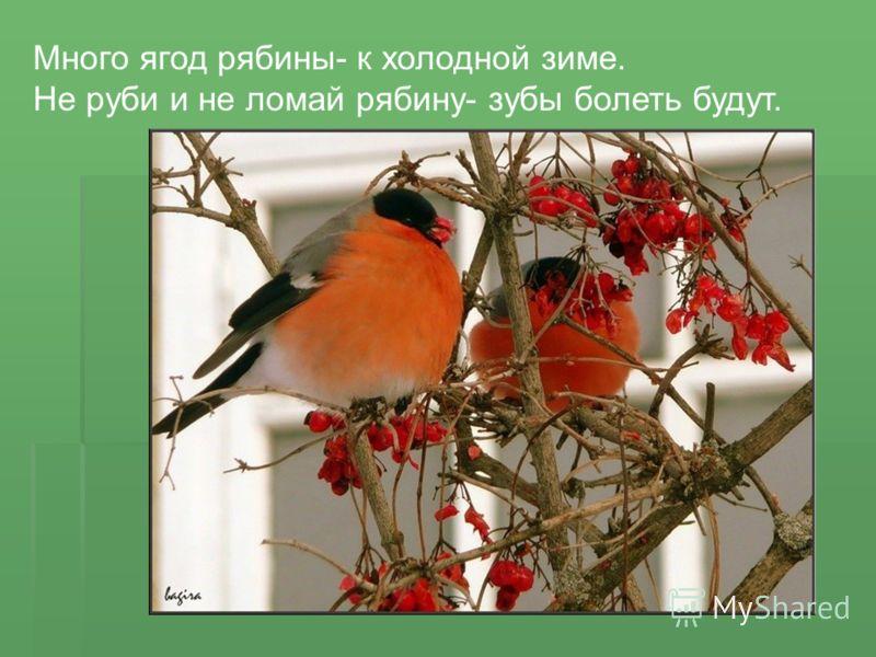 Много ягод рябины- к холодной зиме. Не руби и не ломай рябину- зубы болеть будут.