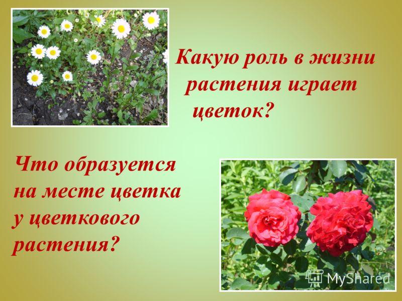 Какую роль в жизни растения играет цветок? Что образуется на месте цветка у цветкового растения?