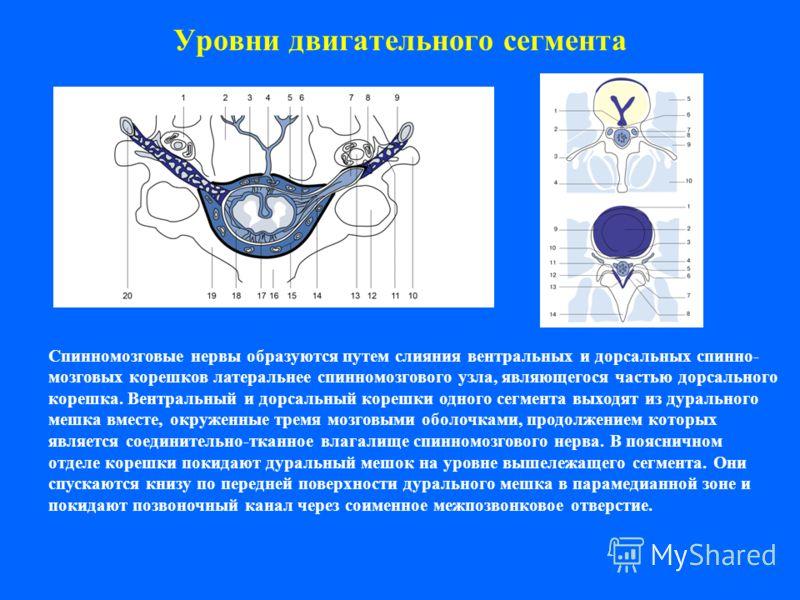 Уровни двигательного сегмента Спинномозговые нервы образуются путем слияния вентральных и дорсальных спинно- мозговых корешков латеральнее спинномозгового узла, являющегося частью дорсального корешка. Вентральный и дорсальный корешки одного сегмента