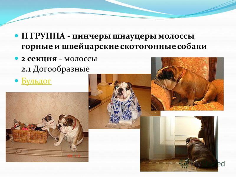 II ГРУППА - пинчеры шнауцеры молоссы горные и швейцарские скотогонные собаки 2 секция - молоссы 2.1 Догообразные Бульдог