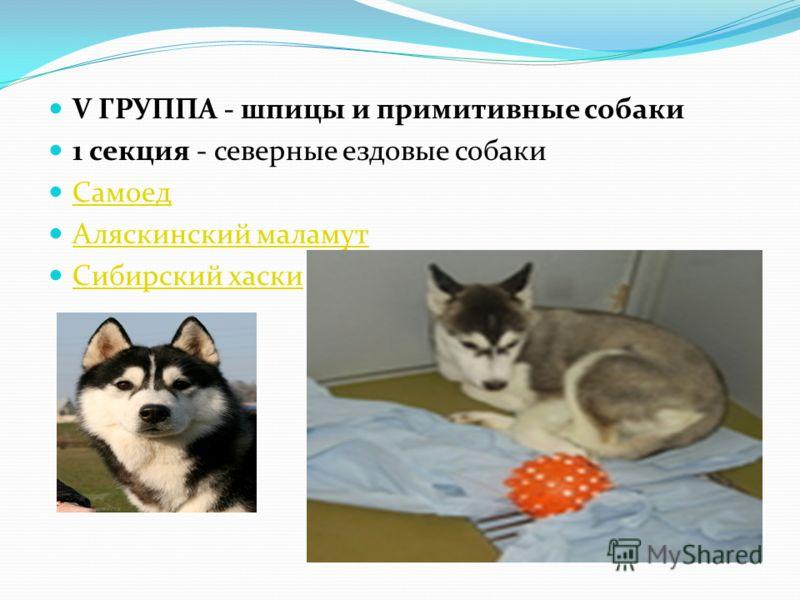 V ГРУППА - шпицы и примитивные собаки 1 секция - северные ездовые собаки Самоед Аляскинский маламут Сибирский хаски