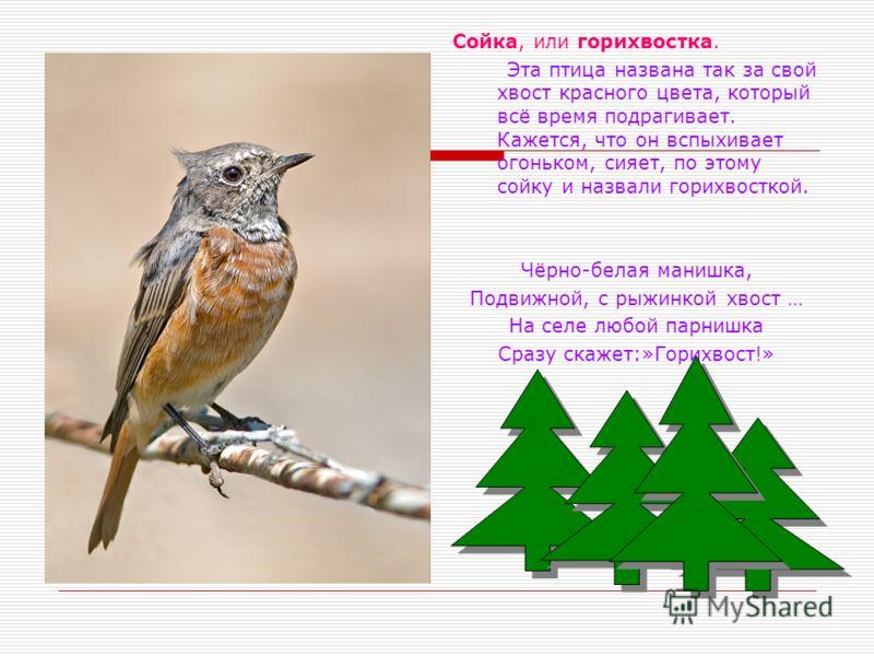 Сойка, или горихвостка. Эта птица названа так за свой хвост красного цвета, который всё время подрагивает. Кажется, что он вспыхивает огоньком, сияет, по этому сойку и назвали горихвосткой. Чёрно-белая манишка, Подвижной, с рыжинкой хвост … На селе л