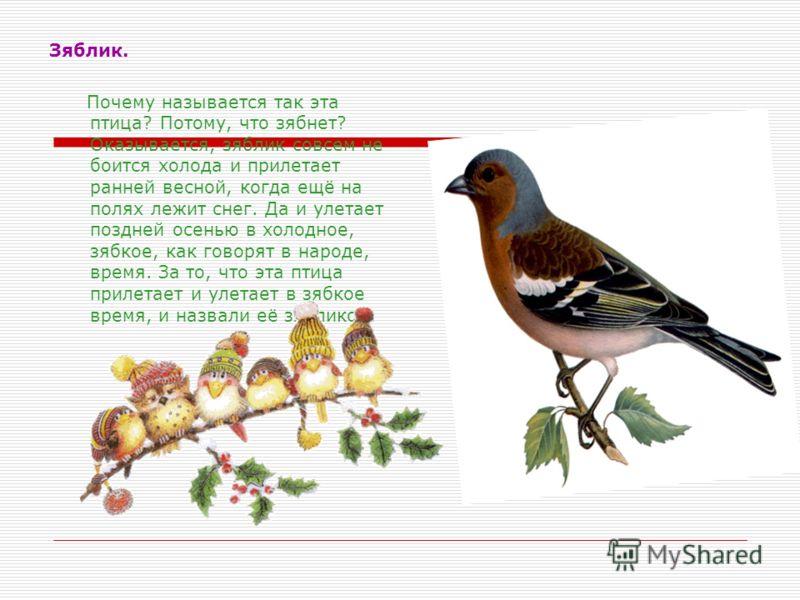 Зяблик. Почему называется так эта птица? Потому, что зябнет? Оказывается, зяблик совсем не боится холода и прилетает ранней весной, когда ещё на полях лежит снег. Да и улетает поздней осенью в холодное, зябкое, как говорят в народе, время. За то, что